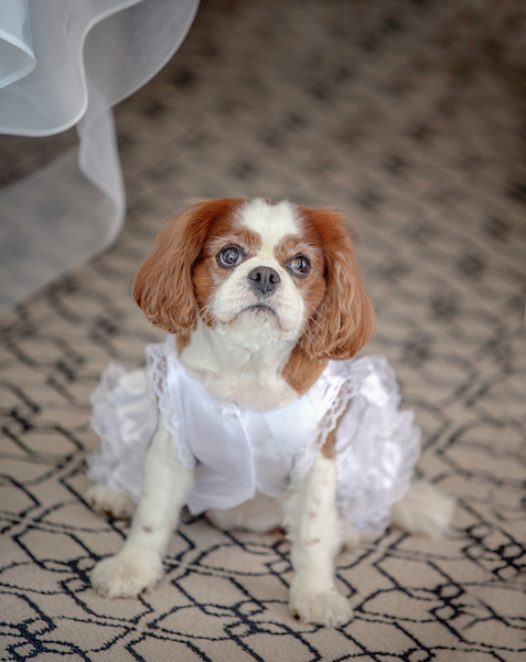 dog in a wedding dress
